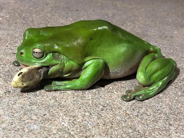 """澳洲绿纹树蛙把陆栖蛇里的第三毒蛇""""太攀蛇""""直接吃掉"""