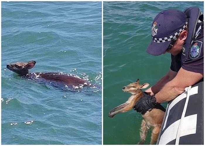 澳洲昆士兰省小袋鼠离岸6公里海面险遇溺获救