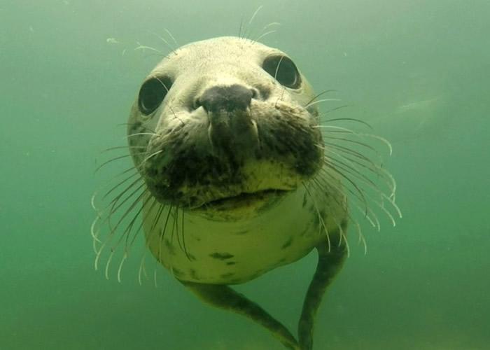 英国纽卡斯尔大学研究人员在法恩群岛海底拍摄到罕见海豹拍手求偶片段