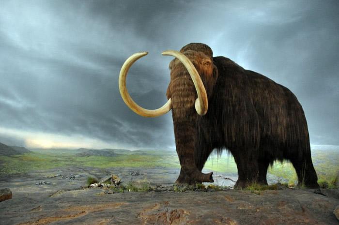 最新研究指猛犸象的灭绝原因可能是基因所致