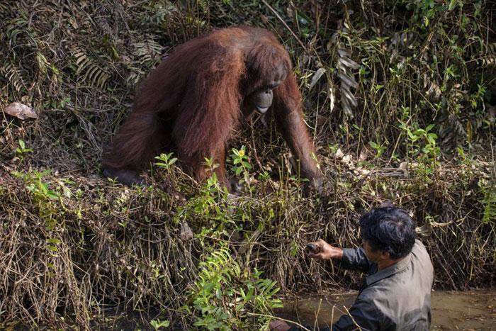 误以为护林员困水潭 印尼婆罗州红毛猩猩伸出援手