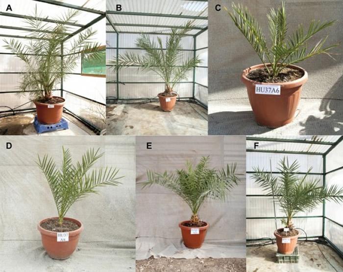 以色列阿拉瓦环境研究所成功培育出在几百年前已经灭绝的朱迪亚椰枣树