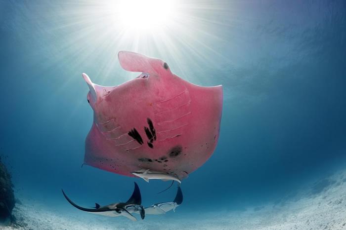 摄影师Kristian Laine在澳洲大堡礁海底奇遇粉红鬼蝠魟 竟然是世界唯一