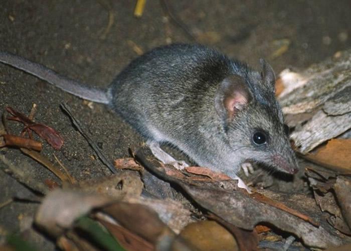 袋鼠岛袋鼩是最受影响的物种之一。