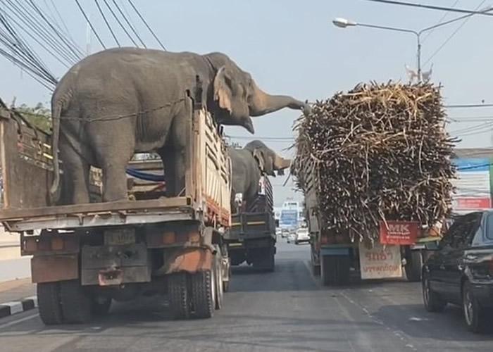 泰国那空沙旺府两只正由货车运送的大象趁红灯等候时偷吃旁边货车上的甘蔗