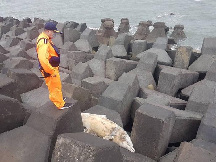 台湾彰化线西水道出水口处发现死亡瓶鼻海豚 流刺网缠绕有多处明显伤痕