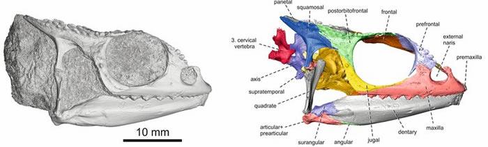 肯尼亚发现的Calumma benovskyi化石研究显示变色龙起源于非洲大陆 后进入马达加斯加