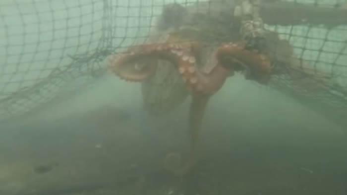 """日本网友拿着GoPro潜入海底观察章鱼时被""""攻击"""""""