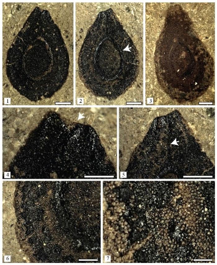 发现于青藏高原中部的粗缘似萝藦籽(Asclepiadospermum marginatum C. Del Rio, T. Su & Z.-K. Zhou