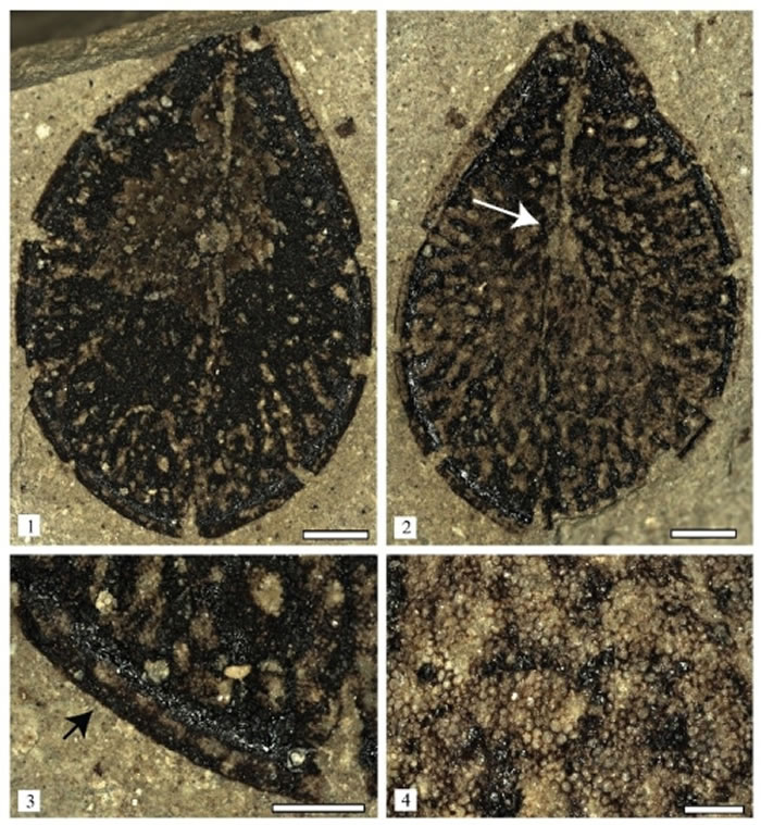 发现于青藏高原中部的椭圆似萝藦籽(Asclepiadospermum ellipticum C. Del Rio, T. Su & Z.-K. Zhou