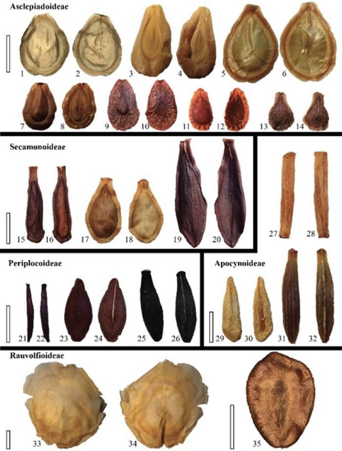现代夹竹桃科种子形态多样性