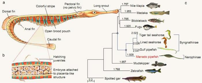 海龙科鱼类的系统演化特征