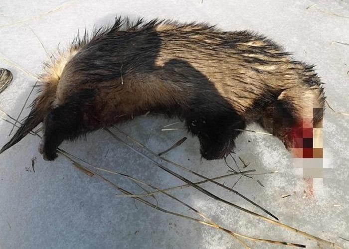 内蒙古乌海市男子在龙游湾国家湿地公园猎杀受保护动物狗獾被捕