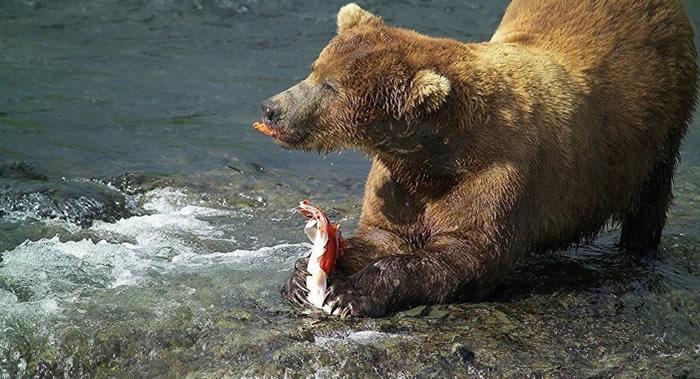 俄罗斯萨哈林动物园的棕熊今年提早从冬眠中苏醒