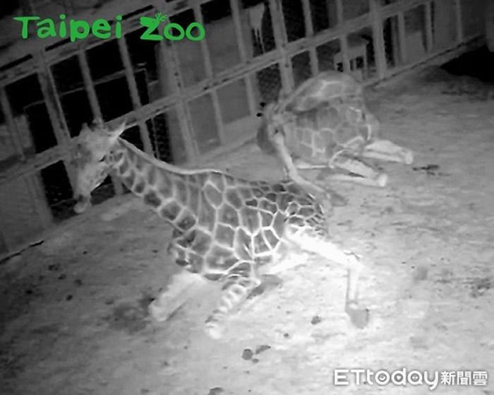 长颈鹿熟睡时呈现坐卧的姿势,并且会将脖子蜷曲在躯干上。