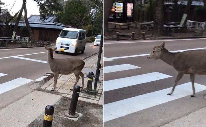 """日本奈良鹿等待过马路 见车礼让""""点头鞠躬"""""""