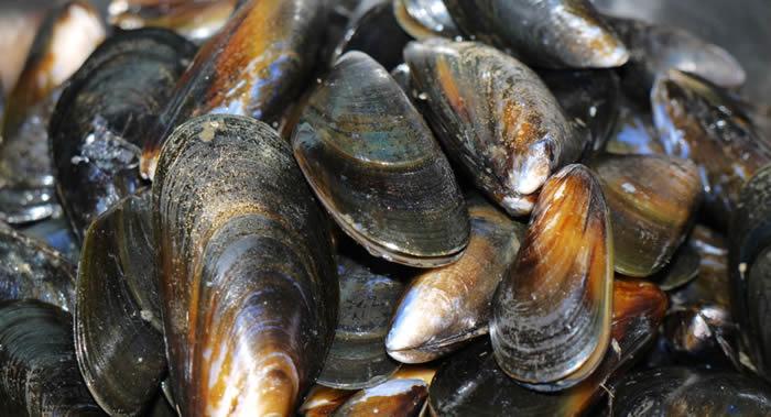 海洋温度升高 新西兰北岛数十万只青口贝被煮熟