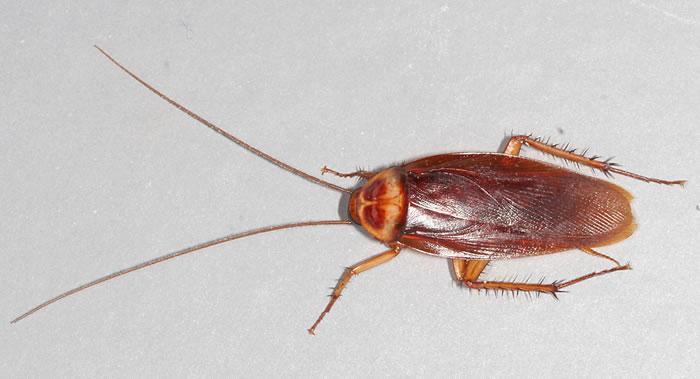 澳大利亚昆士兰州布里斯班市学生请求协助杀死落户在他家中的巨型蟑螂