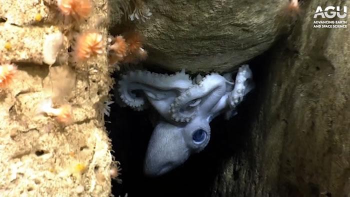 生物学家试图了解深海章鱼如何选择栖息地和捕食猎物