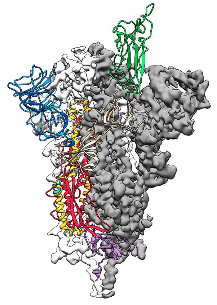 美国科学家研制出冠状病毒的3D模型 由中国提供病毒遗传密码
