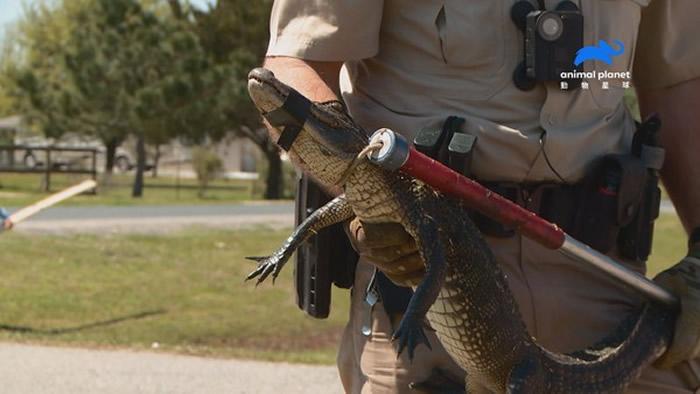 巡逻队员将公园内出现的迷路鳄鱼,成功放置回栖息地。(图/动物星球频道授权提供)