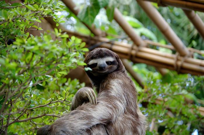 树懒. © CC BY-SA 3.0 / Sergiodelgado / Three toed sloth at the Dallas World A