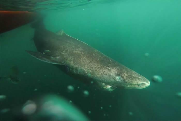 格陵兰鲨. © 照片 : Julius Nielsen/Greenland Institute of Natural Resources