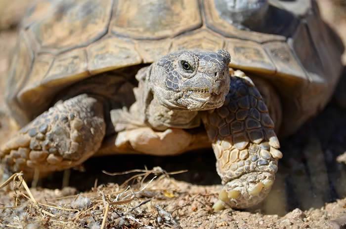 沙漠地鼠龟. © 照片 : Sandra Leander/ASU