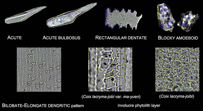 小穗中常见的植硅体类型(葛勇 供图)