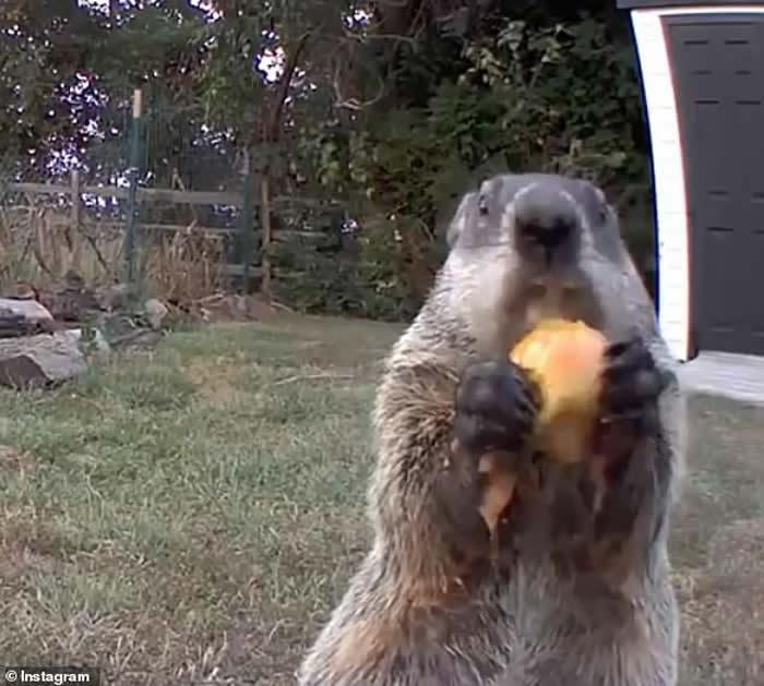 美国土拨鼠多次闯入菜园偷食物 还带女友前来开餐