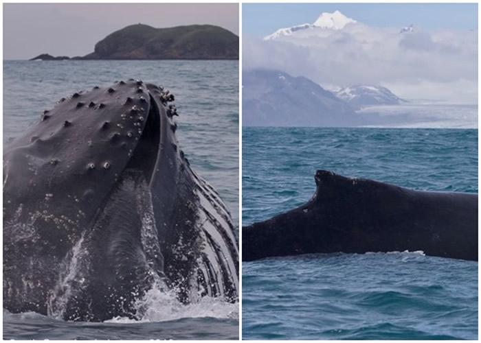 大西洋英国属地南乔治亚岛附近海域再度发现大量蓝鲸出没