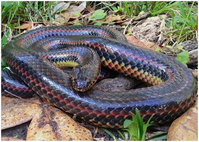 美国佛罗里达州行山客发现罕见彩虹大蛇 是事隔51年再次现身