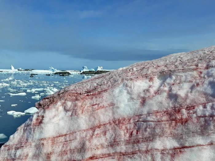 """""""雪衣藻""""!乌克兰""""韦尔纳茨基院士""""南极站布满红色积雪"""