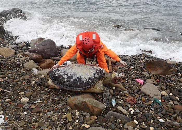 台湾新北市海岸边接连发现7只已经死亡的绿蠵龟
