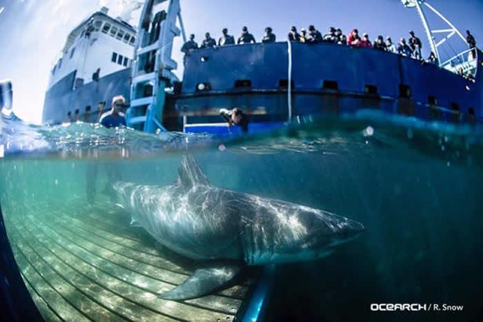 这只鲨鱼去年在加拿大新斯科舍省海岸附近被安装卫星定位