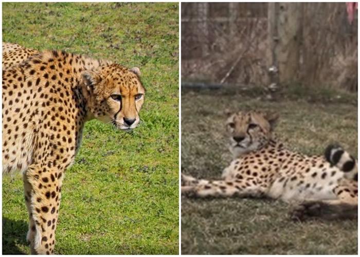 美国俄亥俄州哥伦布动物园迎来两只全球首例透过体外人工受孕诞生的猎豹宝宝
