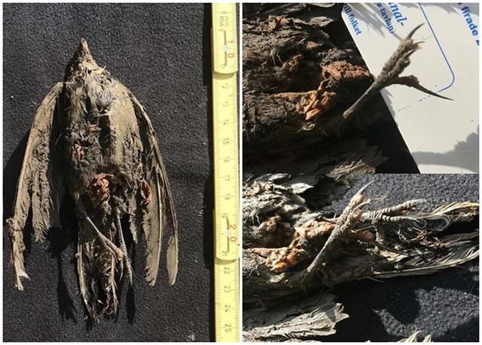 """""""永冻鸟""""!俄罗斯西伯利亚永久冻土层出土百灵鸟4.6万年前祖先遗骸 犹如刚刚死去"""