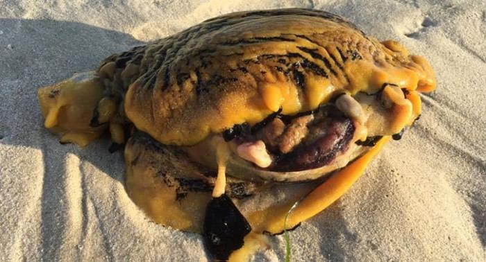 不寻常的生物惊现澳大利亚珀斯市附近海滩 专家称是一只海兔