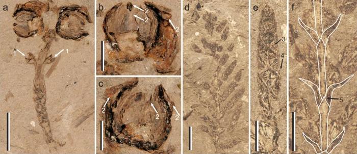 中华美索赛帕里斯的化石形态