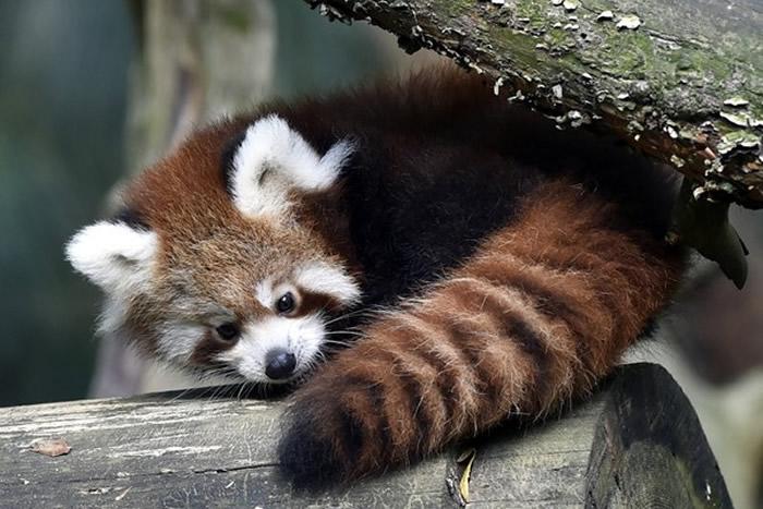 中华小熊猫