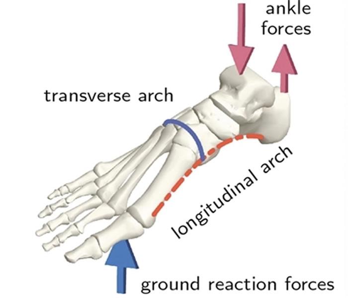 足部骨骼的足弓和典型承重方式的示意图。图片来源:《自然》