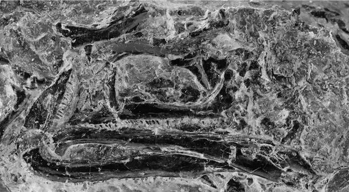德国发现史前爬行动物新种Vellbergia bartholomaei 增进对鳞龙型类早期演化的理解