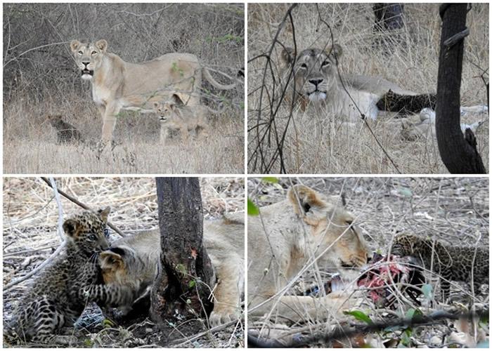 印度古吉拉特邦吉尔国家公园母狮对幼豹视如己出 成跨物种收养罕见例子