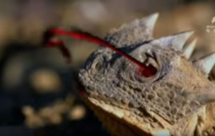 """动物星球频道影片:""""迷你哥斯拉""""大角蜥危急时刻眼睛能喷出射程达1.7公尺的毒血"""