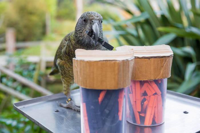 科学家首次发现鸟类懂概率:试验显示啄羊鹦鹉不仅能理解概率 还能据此采取行动