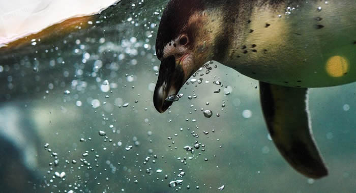 几只稀有洪堡企鹅宝宝在俄罗斯莫斯科动物园孵化
