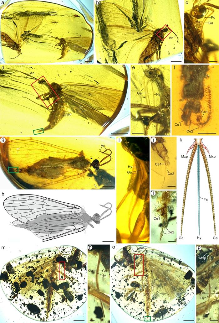 1亿年前白垩纪缅甸琥珀中昆虫化石的研究揭示中生蝎蛉长口器的起源