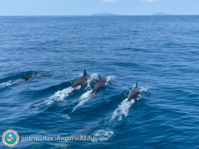 """""""普吉岛新闻""""网站:泰国斯米兰群岛水域发现约100只长吻原海豚"""