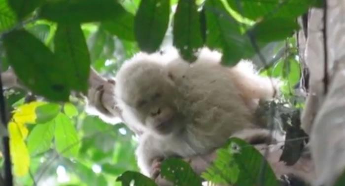 世界上唯一幸存的白化猩猩现身印度尼西亚婆罗洲热带雨林