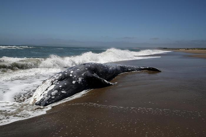 一头灰鲸搁浅在加州的雷耶斯点站。 最新研究显示太阳风暴可能会让这种动物暂时迷失方向。 PHOTOGRAPH BY JUSTIN SULLIVAN, GETTY